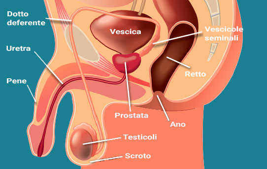 cosè la prostata e a cosa serve